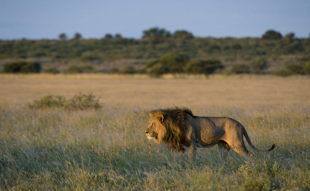 Die berühmten Löwen der Kalahari mit ihrer großen Mähne
