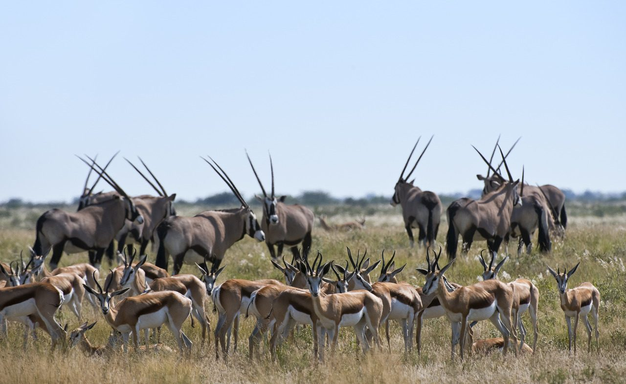 Wildreiche Kalahari