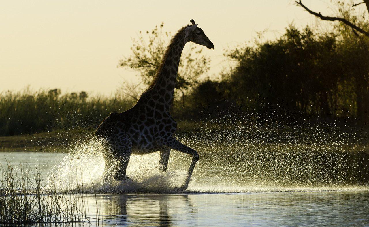Giraffe im Linyanti Gebiet
