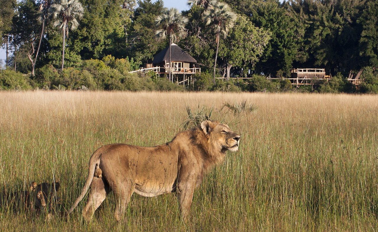 Löwe vor dem Kwetsani Camp