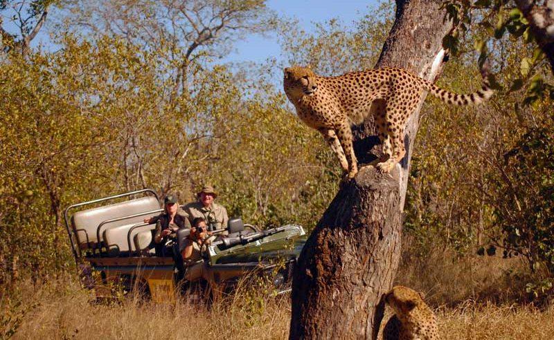 Pirschfahrt in Mala Mala mit Geparden Sichtung