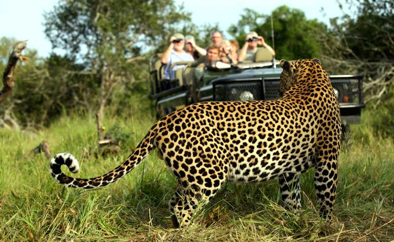 MalaMala ist eines der wildreichsten privaten Wildreservate - auch Leoparden sieht man hier