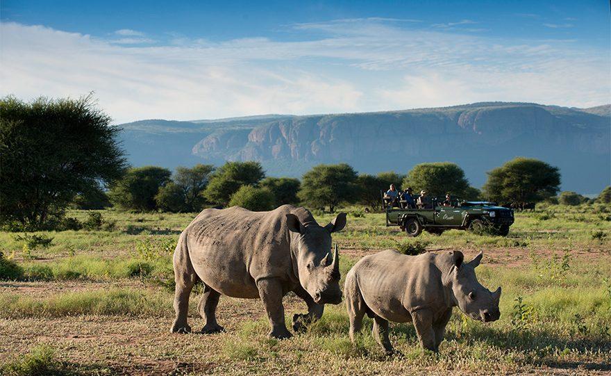 Höhepunkt einer Pirschfahrt in Marataba - Nashörner