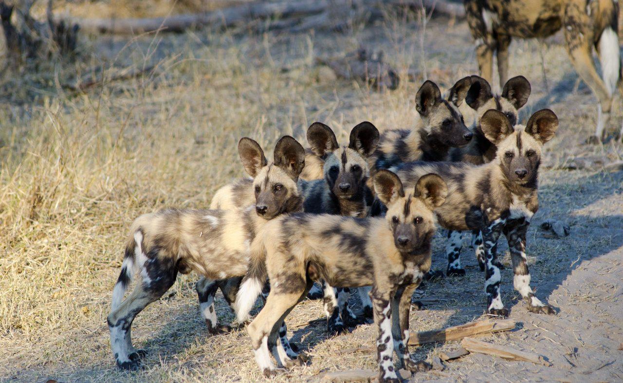 Wild Dogs Savuti