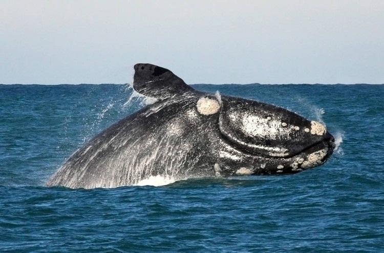 Springender Wal in Südafrika bei Hermanus