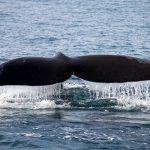 Walbeobachtung in Südafrika