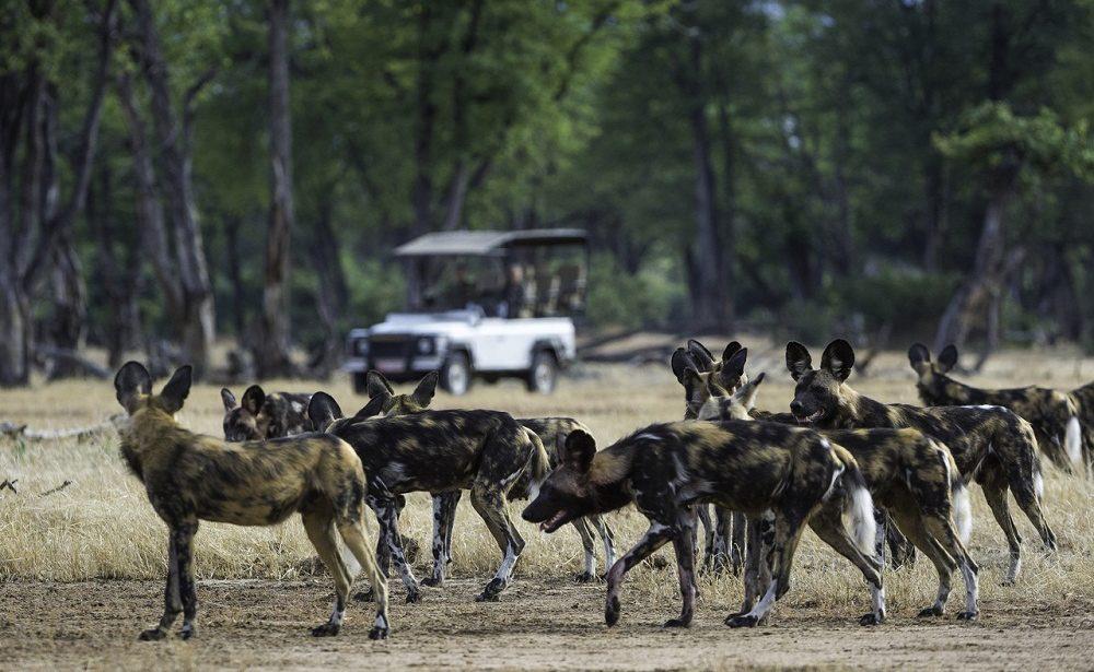 Mana Pools bietet beste Chancen Wildhunde zu sehen