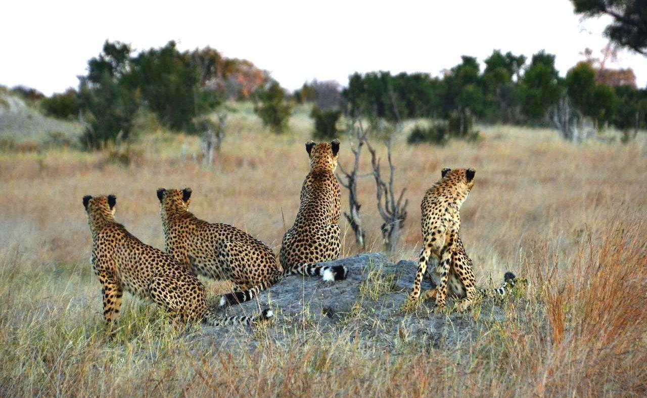 Leoparden im Hwange bei einer Pirschfahrt von Somalisa aus