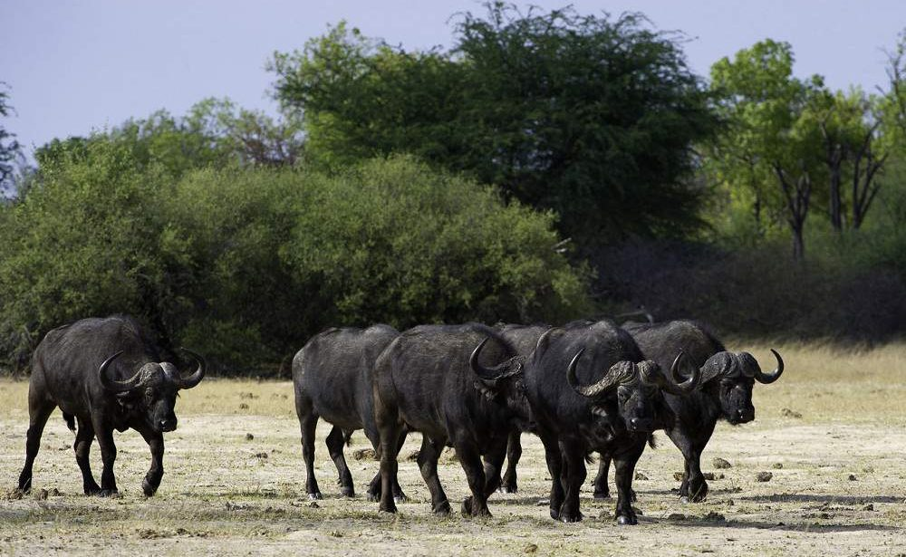 Büffelherde im Hwange Nationalpark