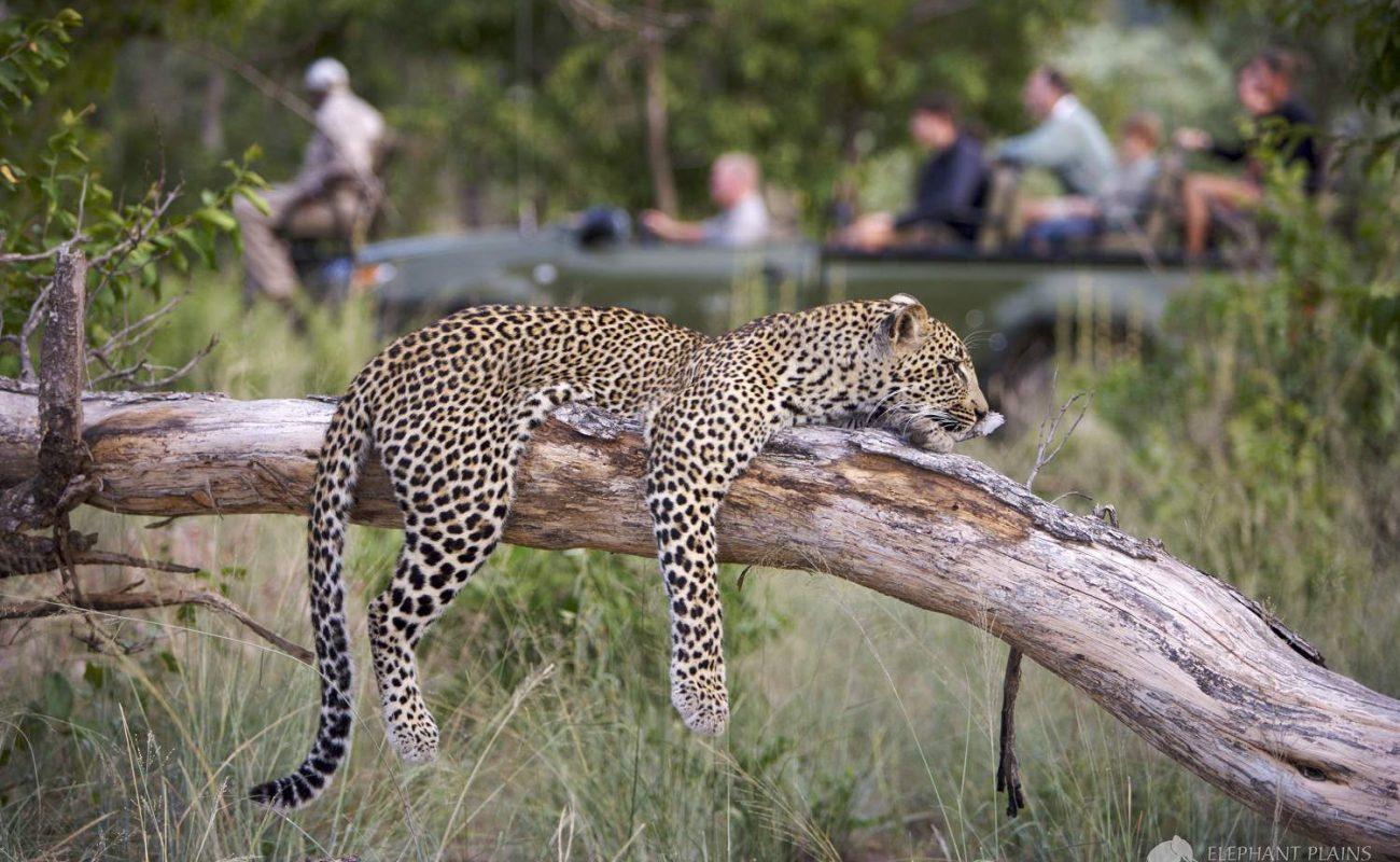 Leopard auf einer Pirschfahrt im Sabi Sands Gebiet