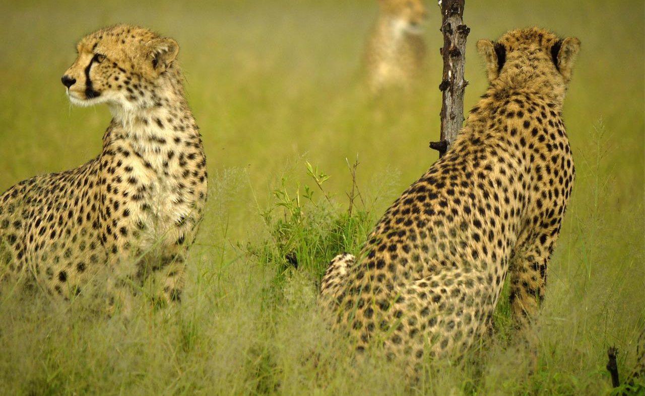 Geparden im Hwange