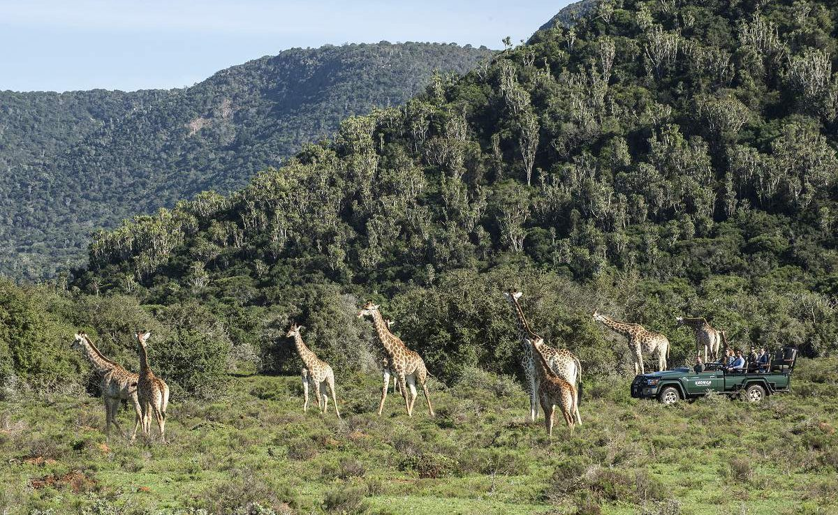 Giraffen im Kariega Game Reserve