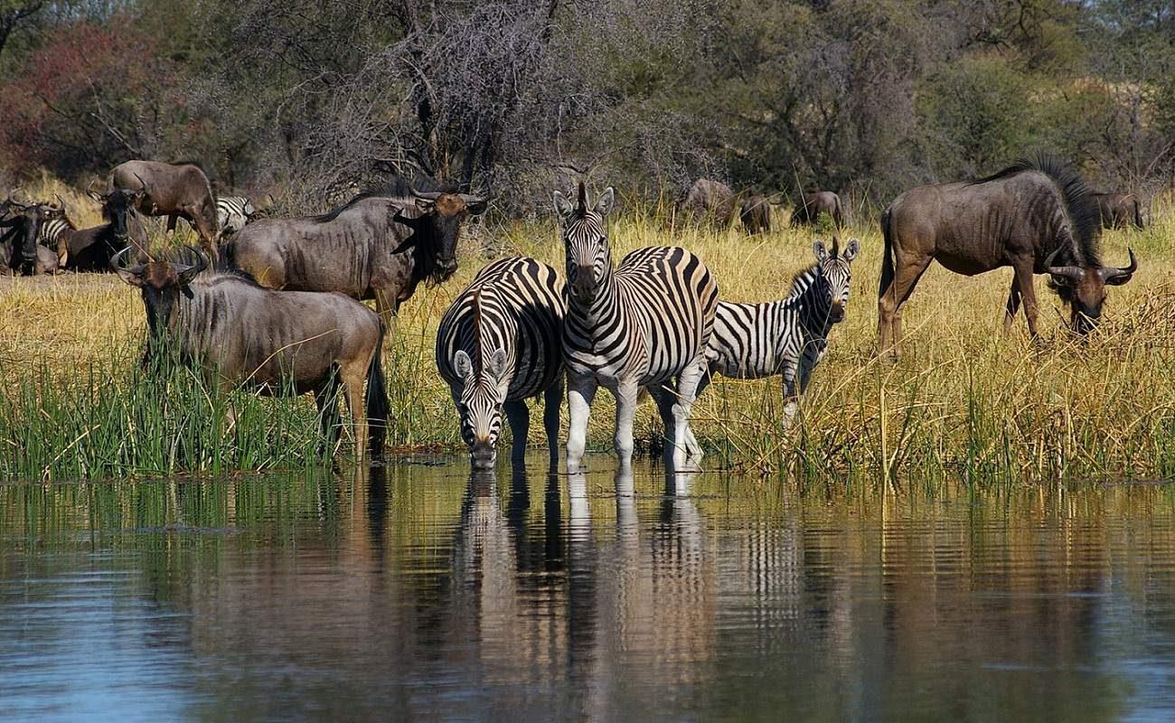 Zebras und Gnus kommen zum Boteti River bei Leroo La Tau