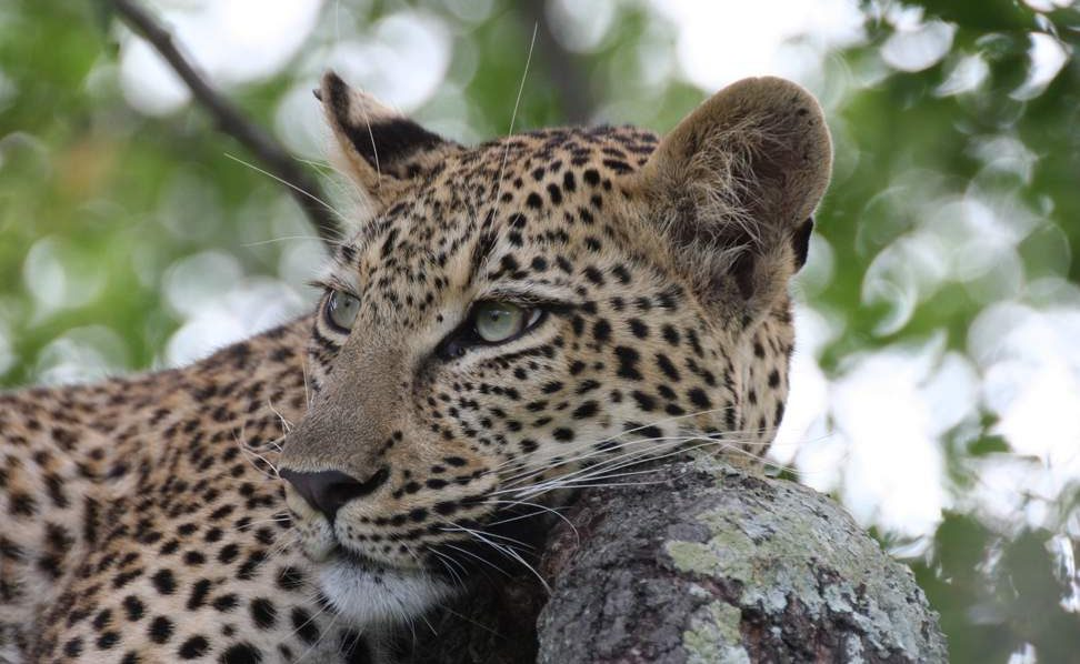 Leopard bei einer Pirschfahrt von Marataba aus