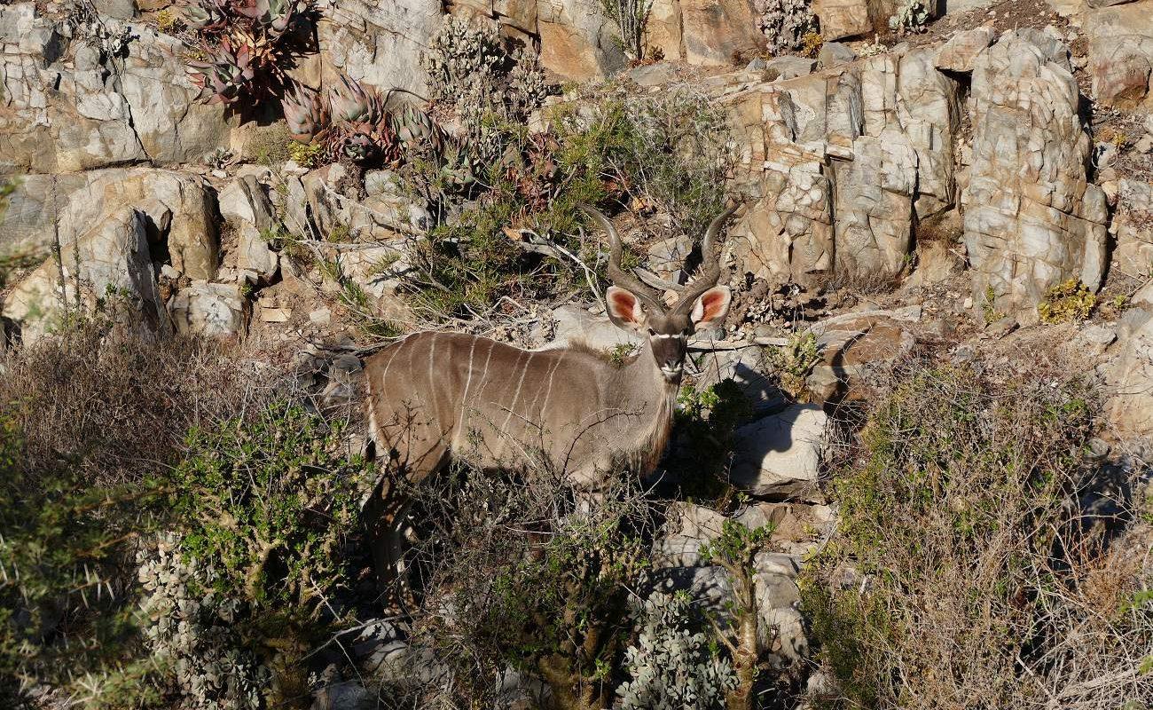 Kudu in Sanbona Kleine Karoo