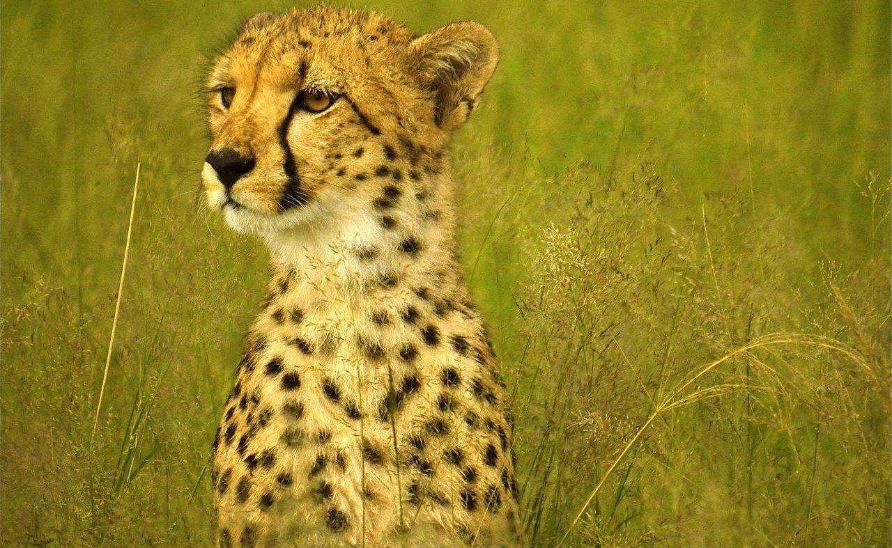 Gepard im Hwange Nationalpark
