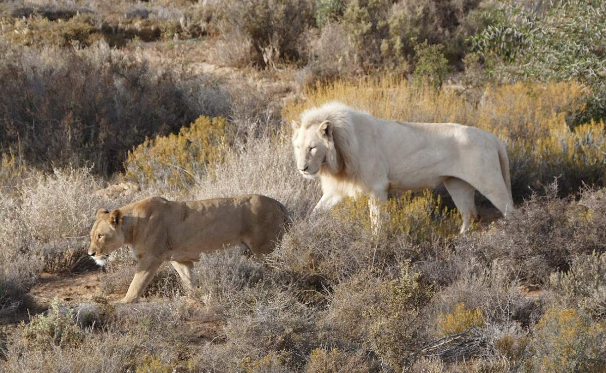 White Lion in Sanbona