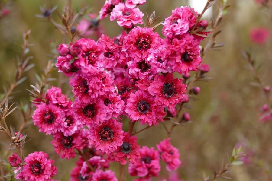 Fuchsiafarbene Blüten bei einem Strauch beim World's View