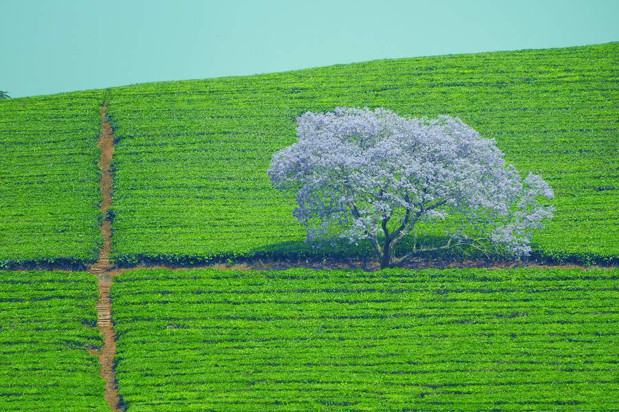 Jacandara Baum in einer Teeplantage im Simbabwe