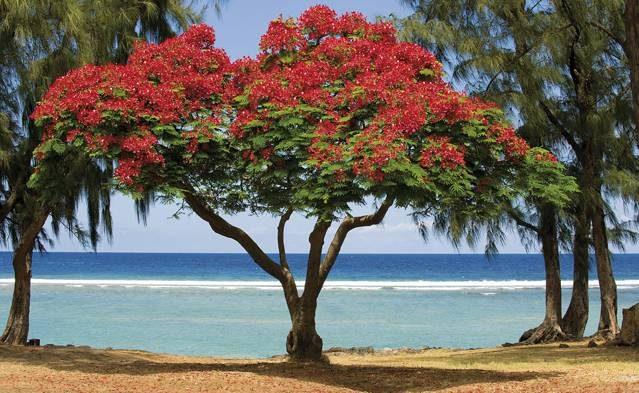 Flamboyant an der Westküste von La Réunion