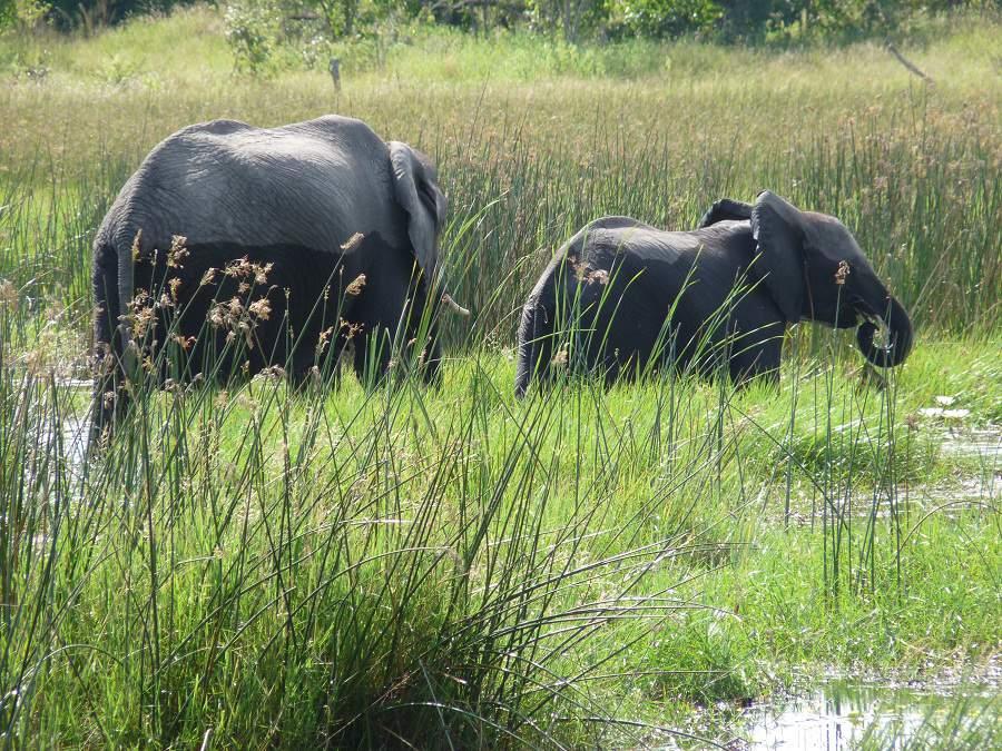 Elefanten im Savuti Marsch