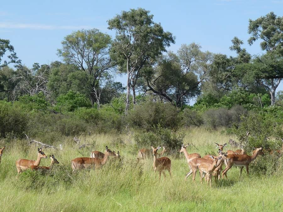 Impalas in der Savuti Region