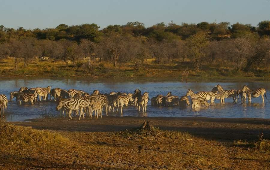 Zebras am Boteti River