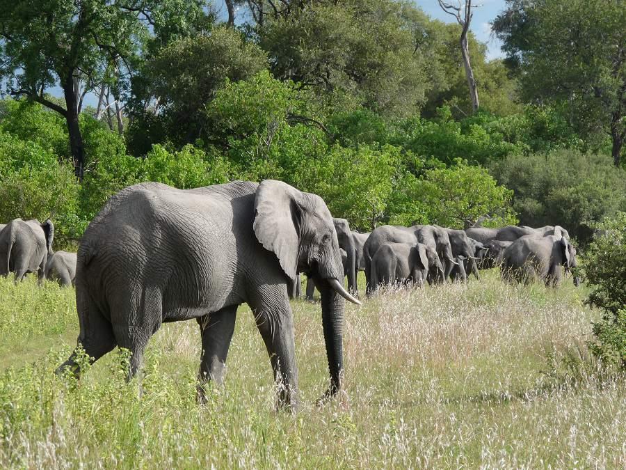 Elefanten im dichten Busch in Botswana