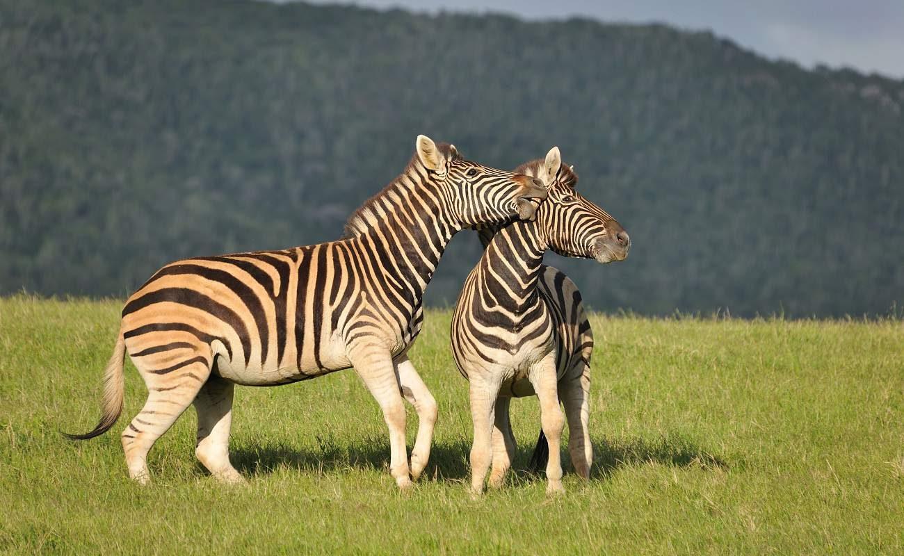 Zebras im Kariega Game Reserve