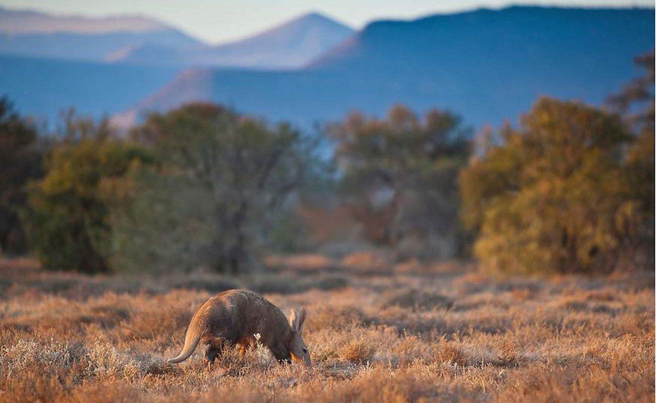 Erdferkel Aardvark in Samara in der Großen Karoo