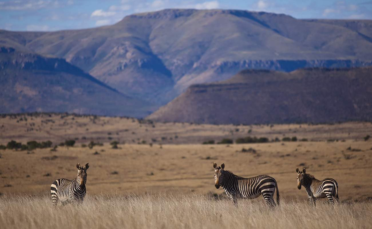 Zebras in der Großen Karoo