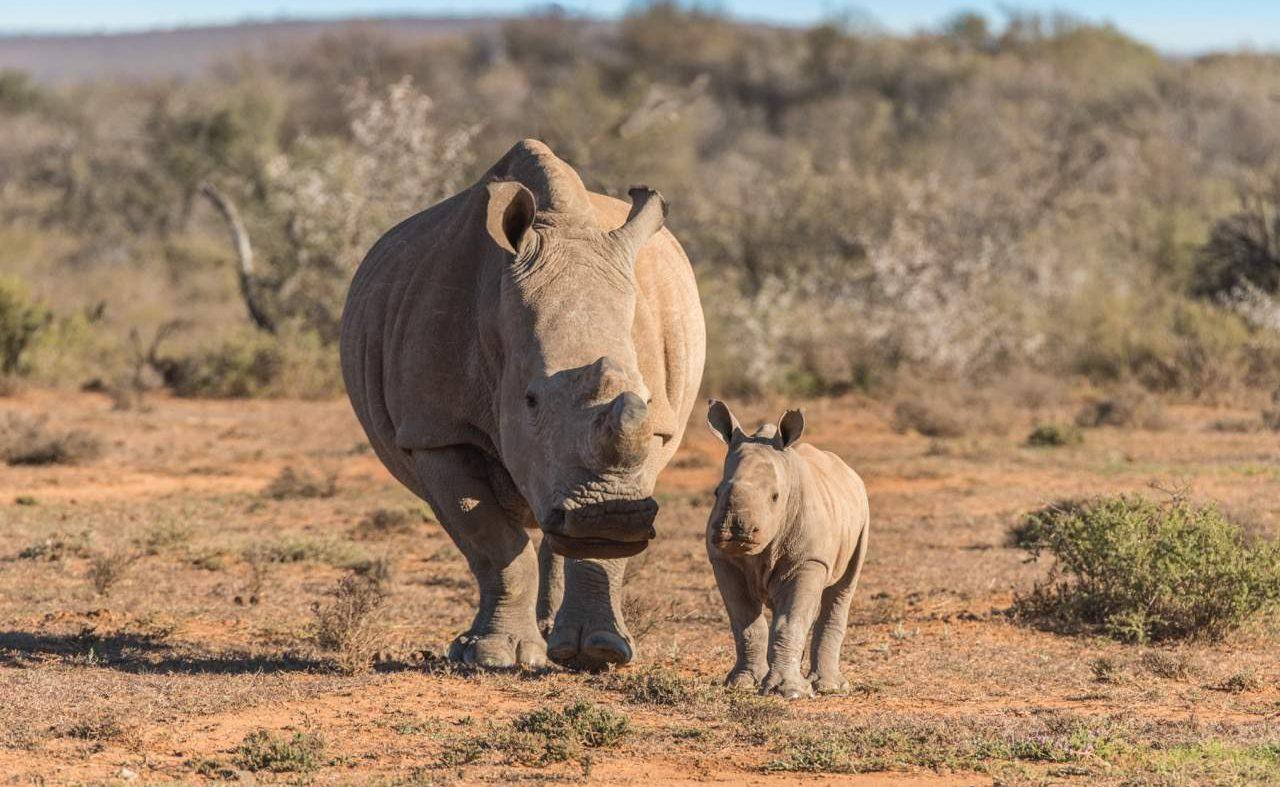 Nashörner in der Großen Karoo in Samara