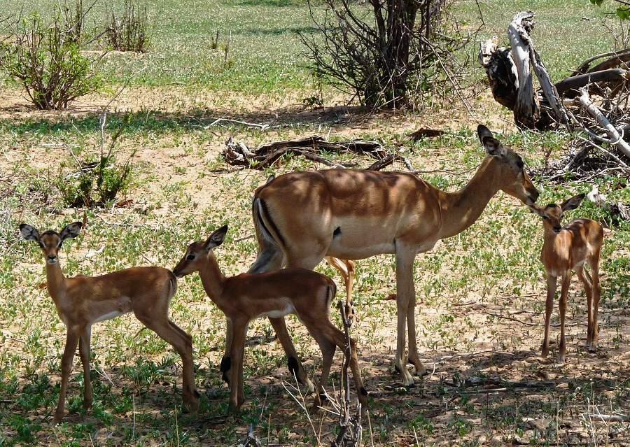Babyimpalas in Botswana