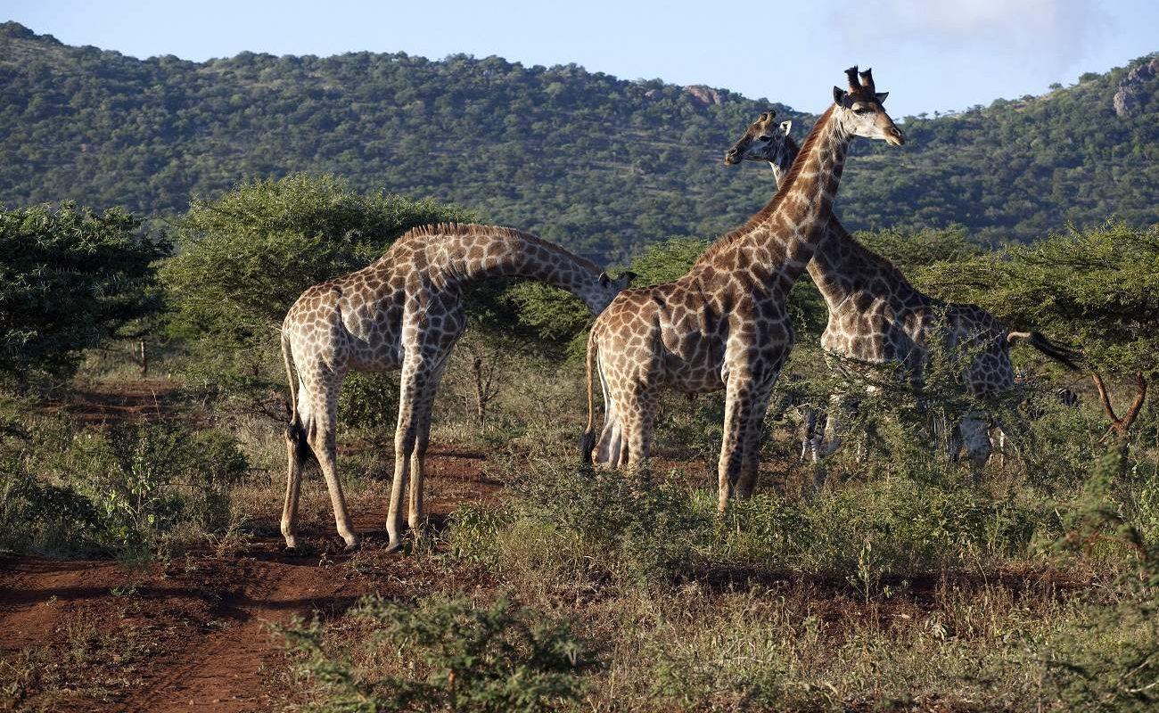 Giraffen im Hluhluwe