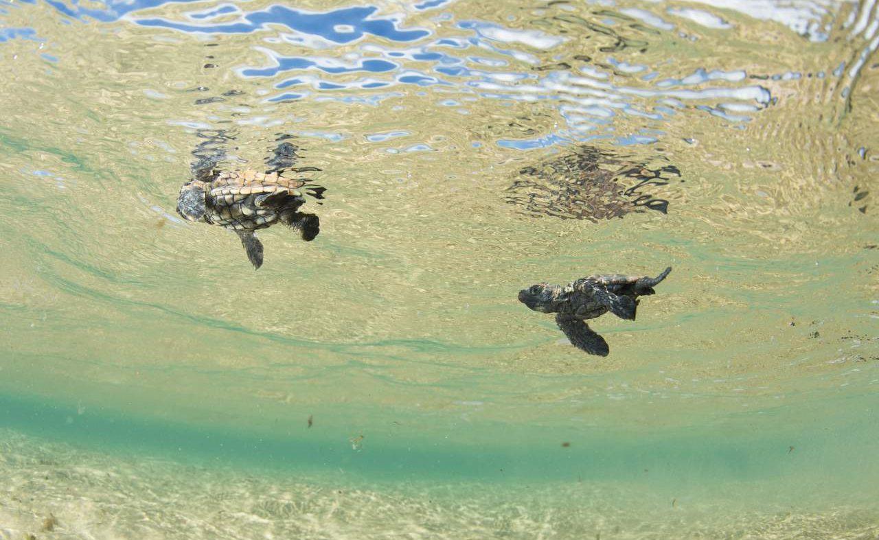 Schildkröter im klaren Meer von KwaZulu Natal