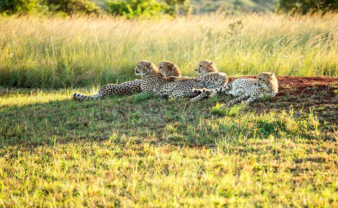 Geparden in KwaZulu Natal