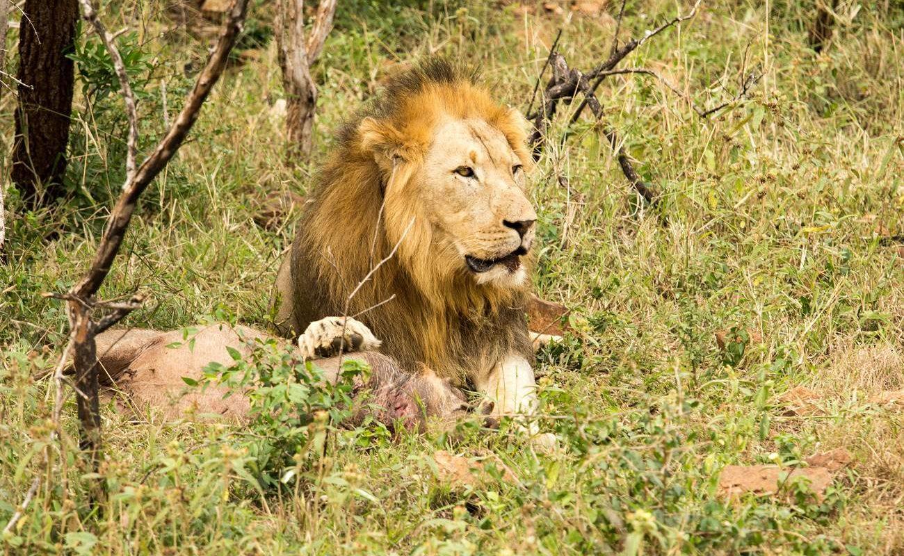 Löwe im Nambiti Game Reserve