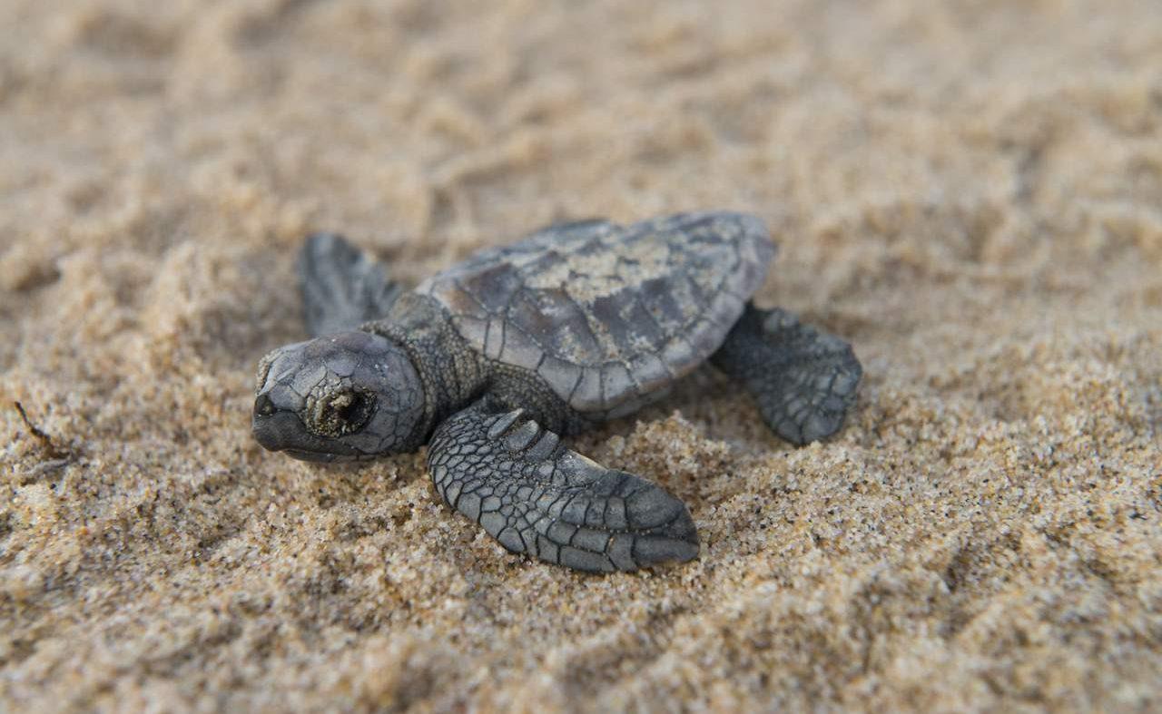 Schildkröte im St. Lucia KwaZulu Natal