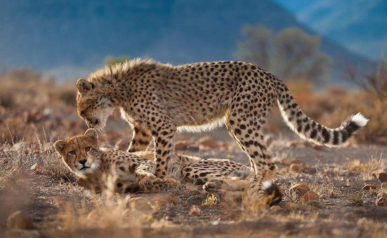 Gepard in Samara in der Karoo in Südafrika