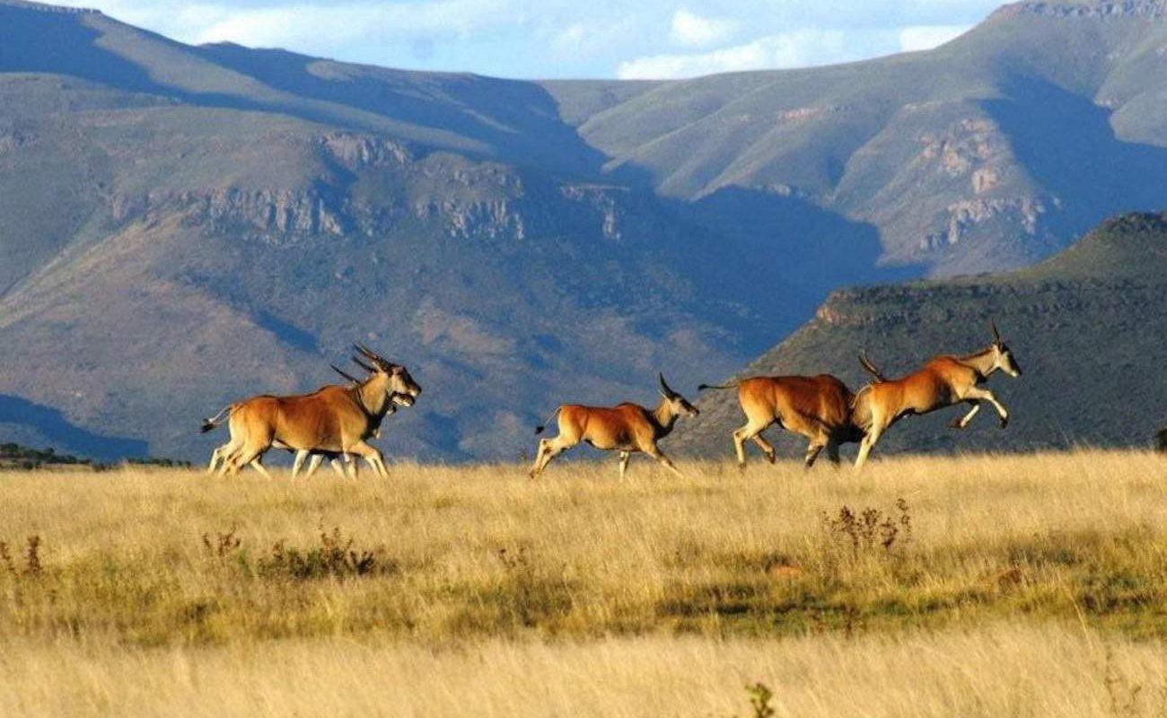 Eland Antilopen in der typischen Karoo Landschaft