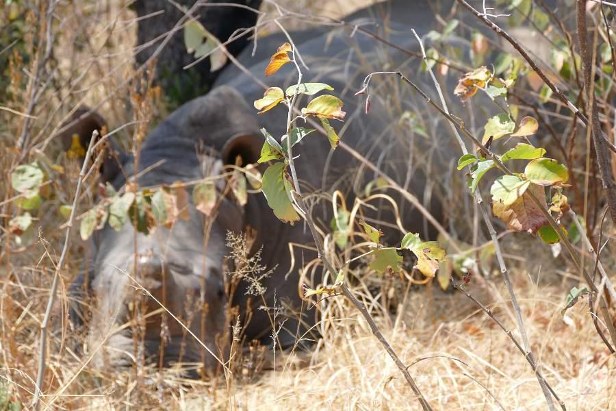 Nashorn im Matobo Nationalpark