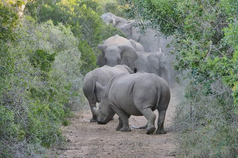 Nashörner und Elefanten im privaten Wildreservat Kariega Südafrika