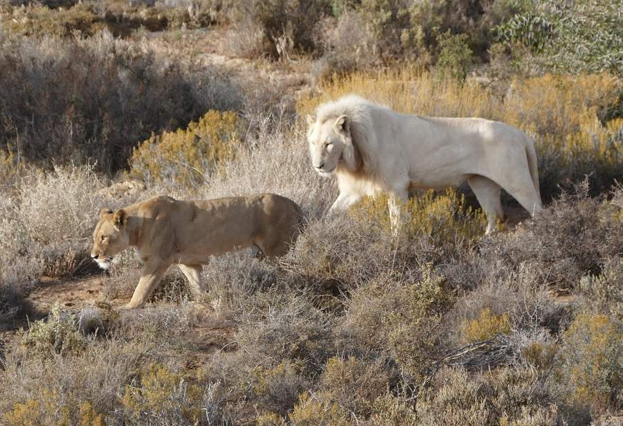 Weiße Löwen in Sanbona in Südafrika