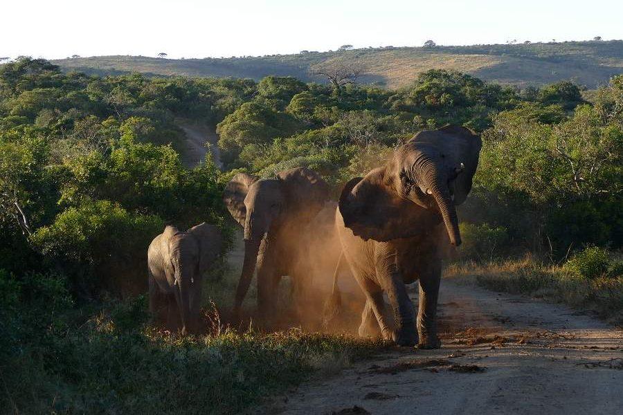 Die schönsten Bilder aus KwaZulu Natal: Elefanten Hluhluwe