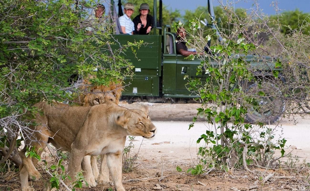 Löwe im Etosha East