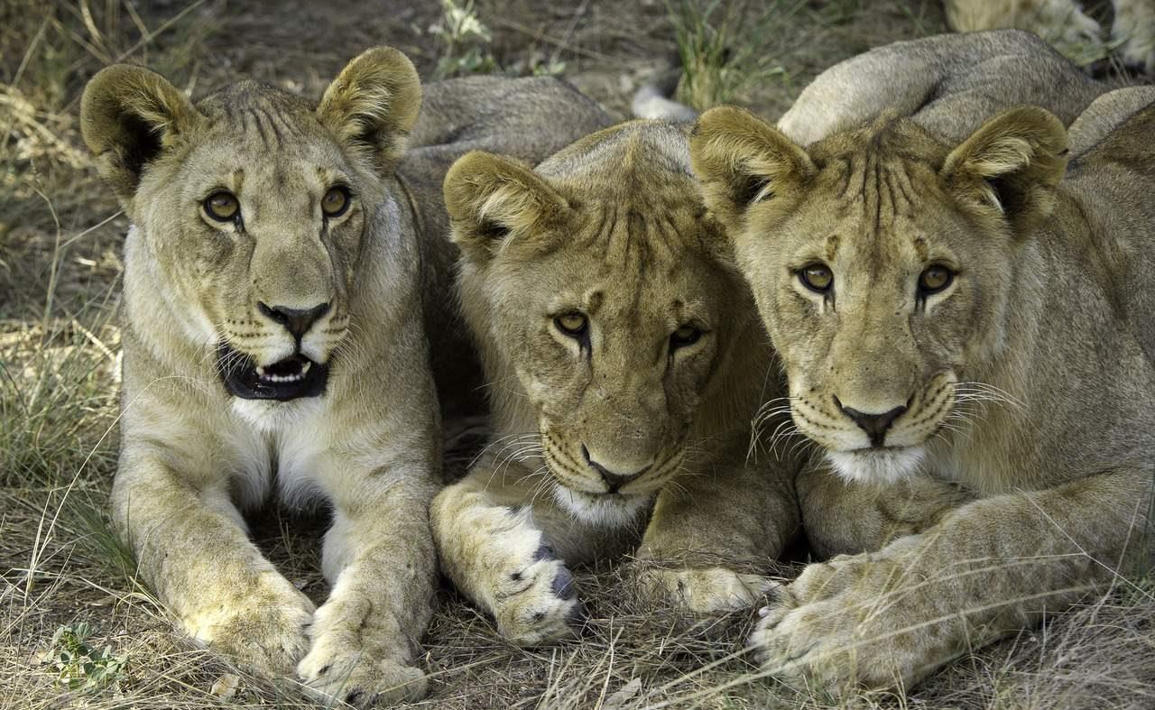 Löwen - Höhepunkt jeder Reise nach Namibia