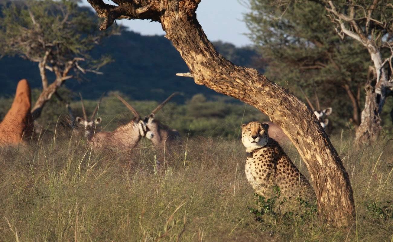 Tiere im privaten Okonjima Wildreservat