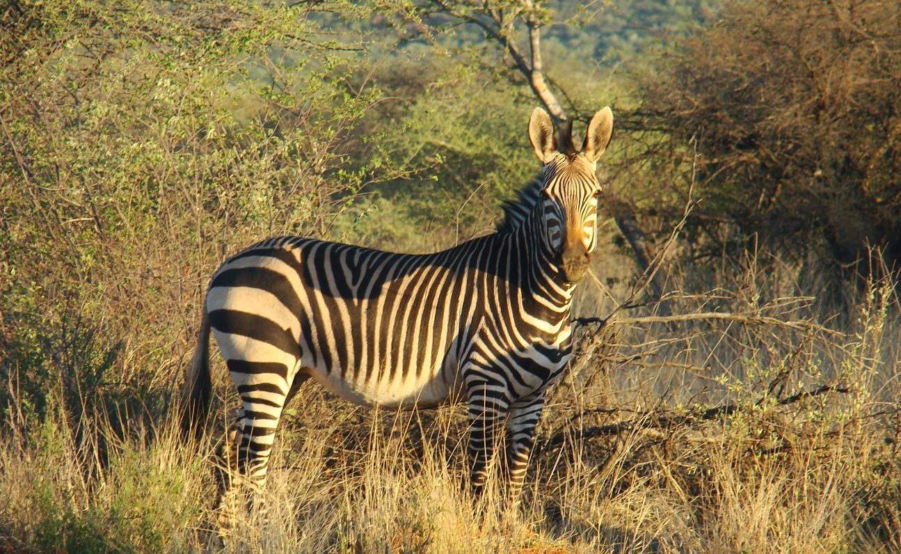 Zebra in Okonjima