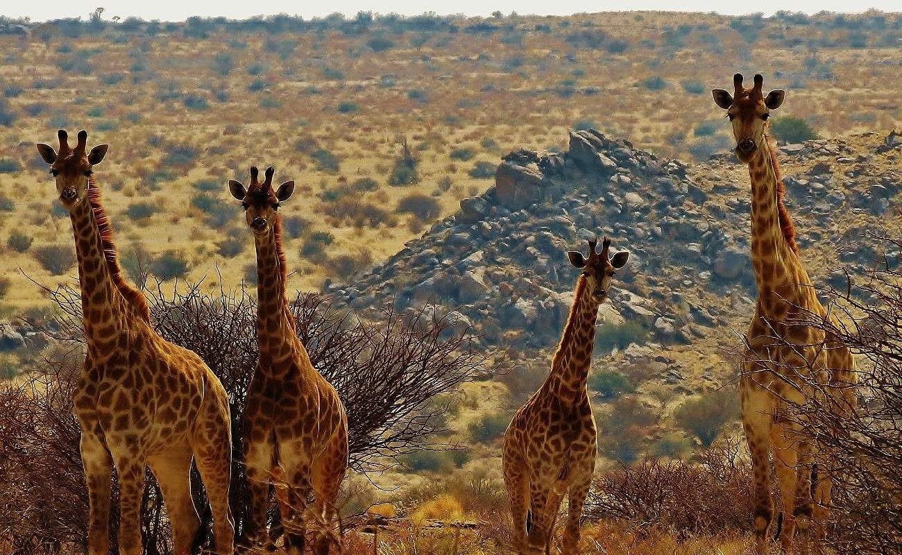 Pirschfahrt in der Kalahari mit Giraffen in Tutwa