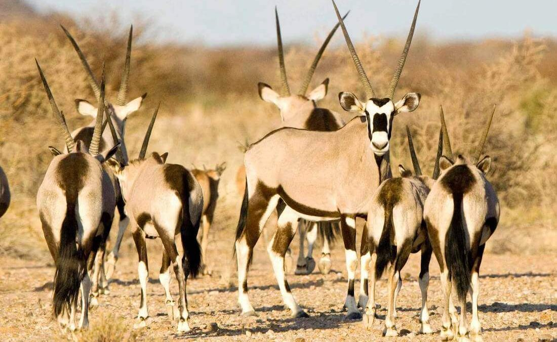 Oryx in der Kalahari
